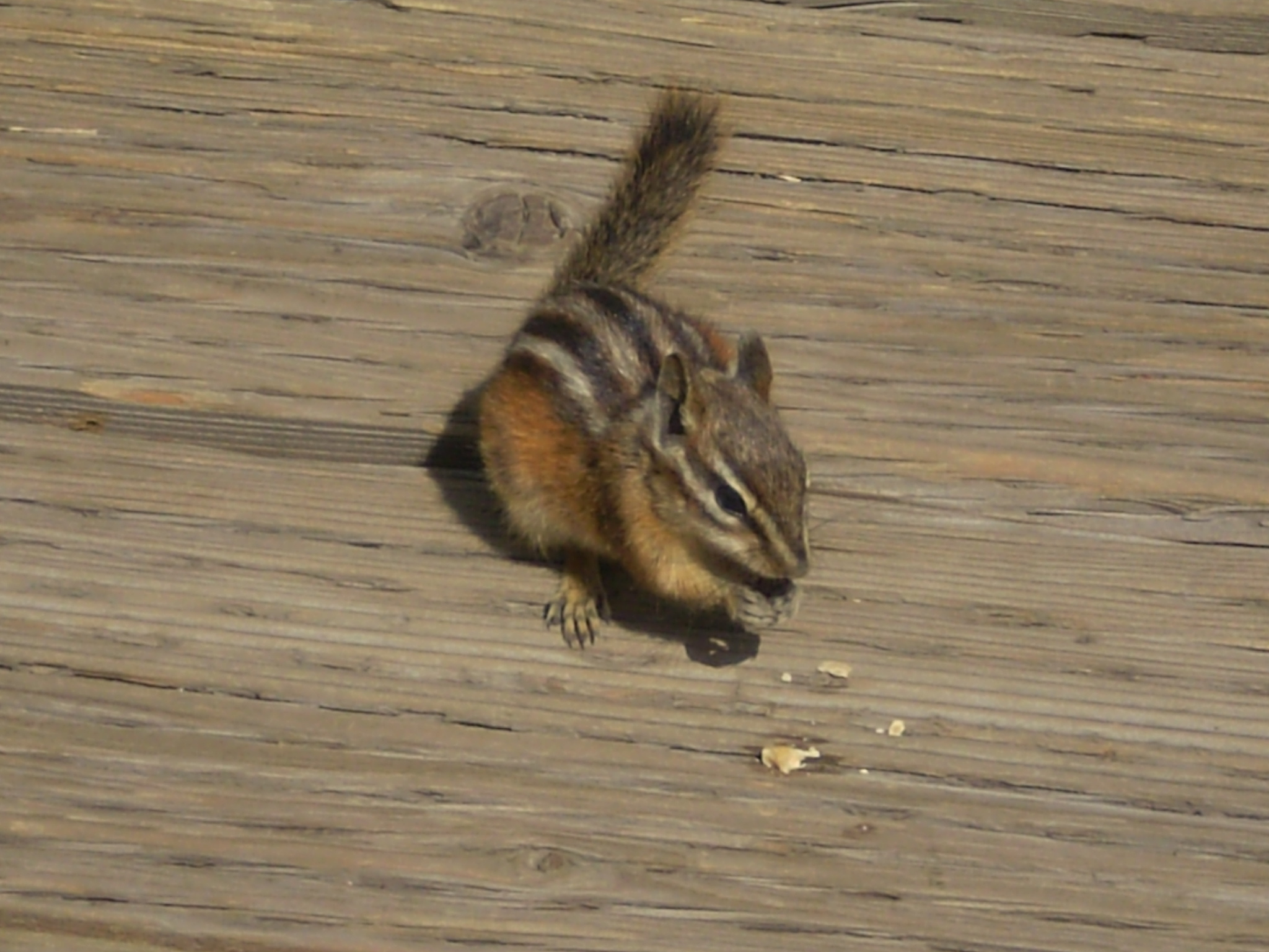 Least Chipmunk in Yellowstone National Park